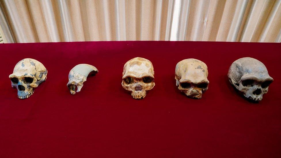 Human Evolutionary Skulls