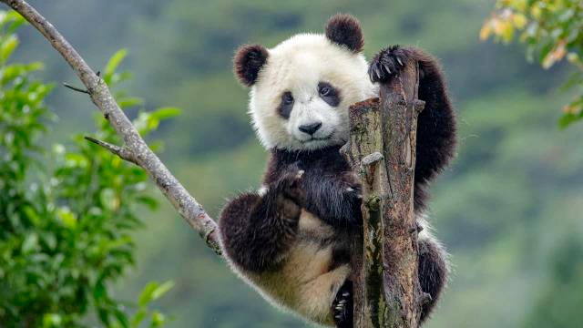 China Removes Giant Pandas From Its Endangered List
