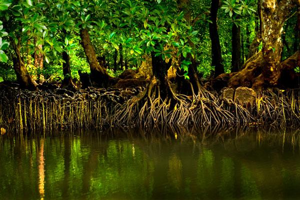 Restored Mangroves Holding Back Sea Level Rise